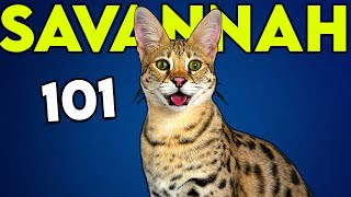 SAVANNAH CAT 101: Huge Cat with Wild Blood (Watch This Before Getting One)