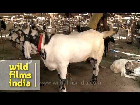 People buy prize goats on the occasion of Bakra Eid, Delhi