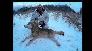 Охота на волков в окладе