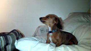 Charlie The Dachshund  Puppy Learns To Howl.mpg