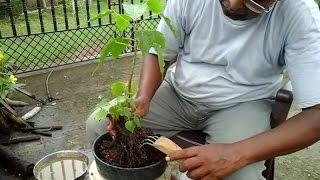 How to make bonsai a small tree.
