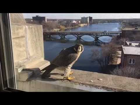 Once endangered in Illinois, peregrine falcons are making a comeback in Rockford