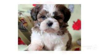 Shichon Dog Breed