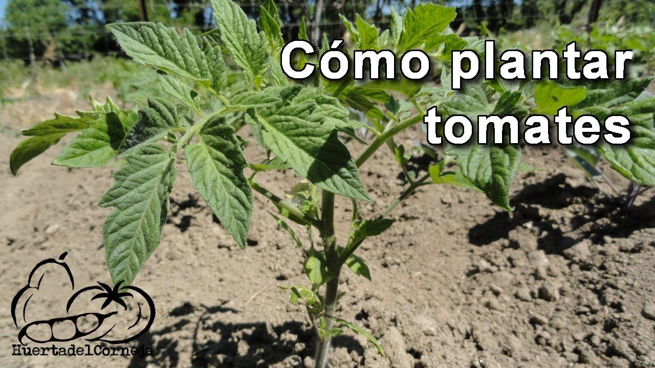 C mo plantar tomates youtube - Como se planta el bambu ...