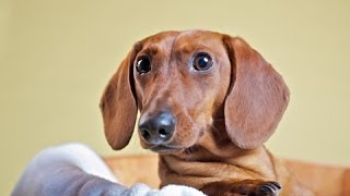 Dachshund Temperament Goes Hand In Hand With Dachshund Training
