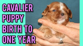Ruby Cavalier King Charles Spaniel Puppy from Birth to One Year