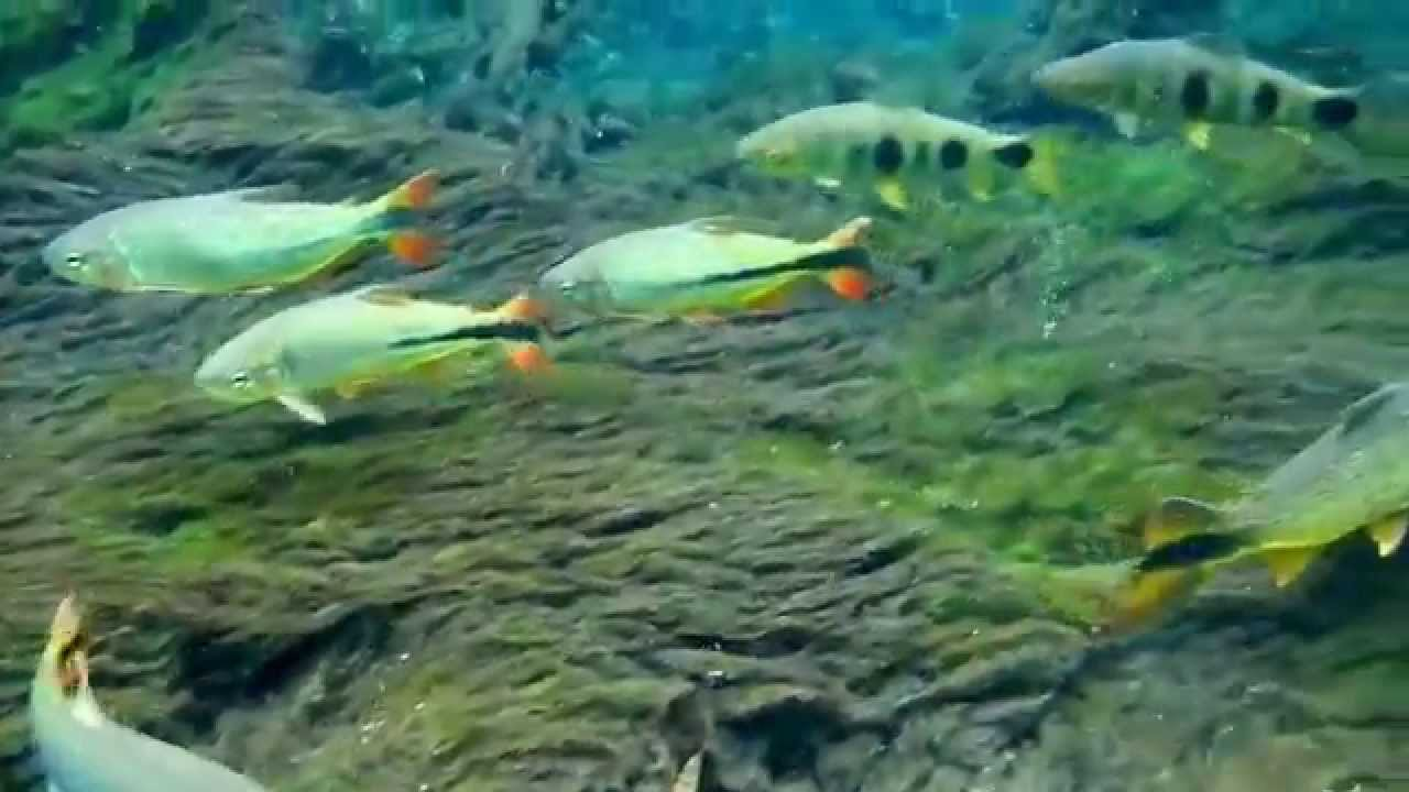 Freshwater fish conservation - Fish Freshwater Fish Nature Conservation Observation For Buoyancy
