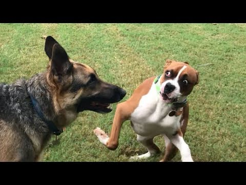 Playing in the Yard (Boxer vs GSD)