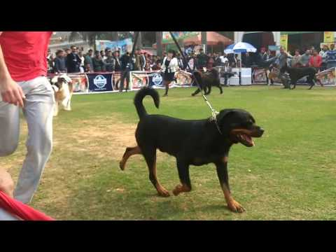 Gurgaon Kennel Club GKC 2017 Dog Show video Guess the Winner-Part 2
