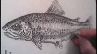 Drawing a Fish (Trout) in Cross-Hatching
