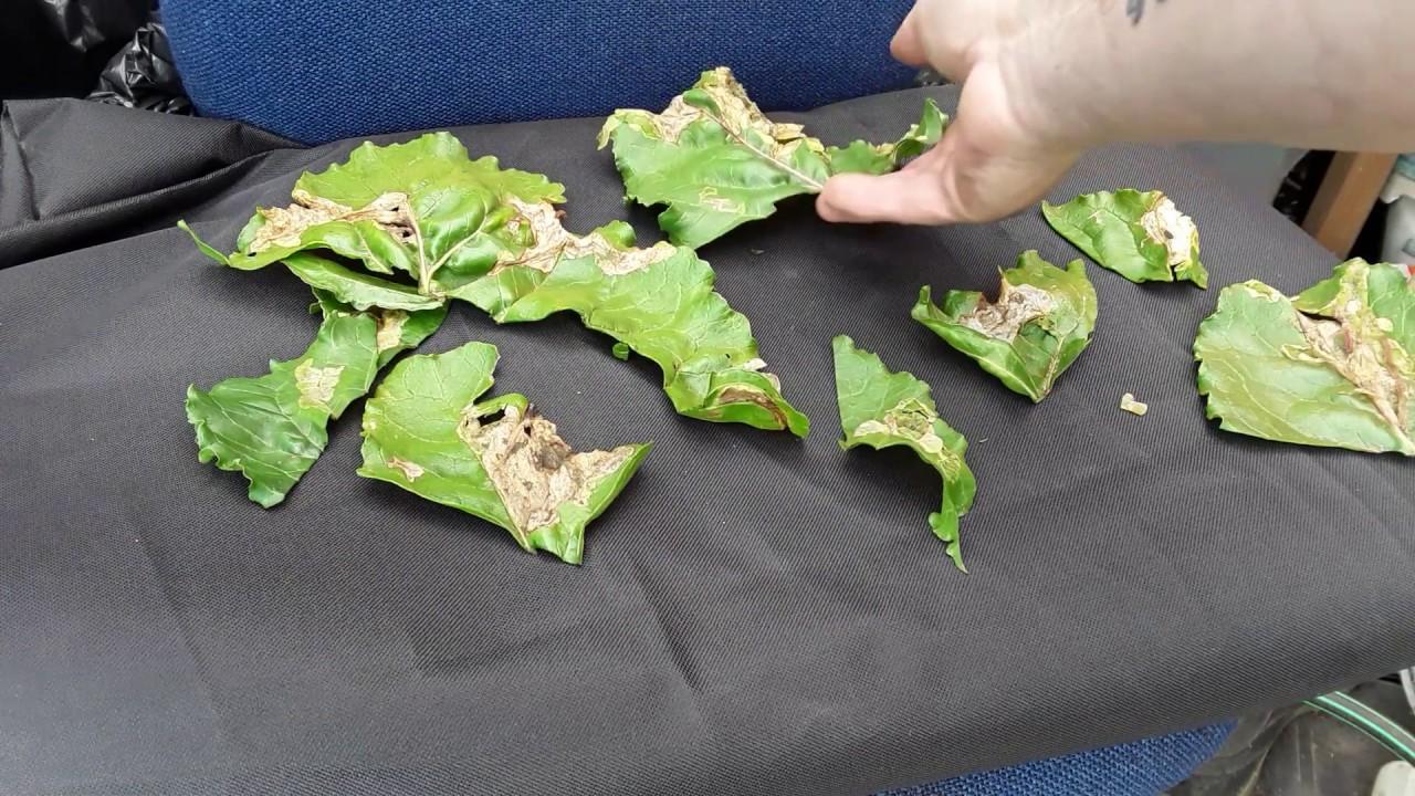 helminthosporium blot frunze pe porumb)