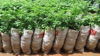 Экспериментальный картофель в мешках(Выращивание картофеля в мешках - способ, конечно, спорный по рентабельности, но от этого не менее интересный..., 2015-03-20T21:38:53.000Z)