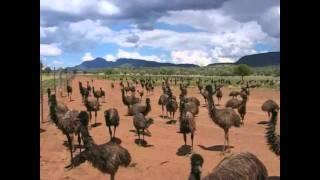 Sandhu Emu Farms on Harman Radio Australia