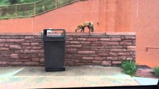 Fox on some blocks eating pizza at Red Rocks