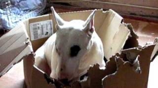 English Bull Terrier 'destroyer Of All Things!'