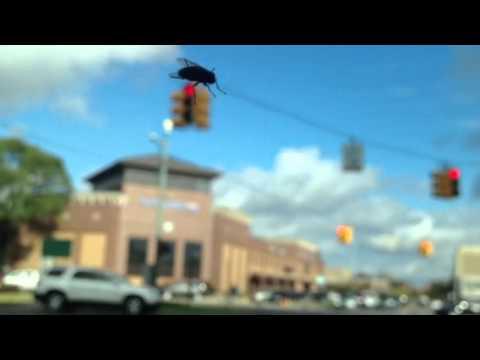 Giant Fly Attacks Downtown Birmingham, MI