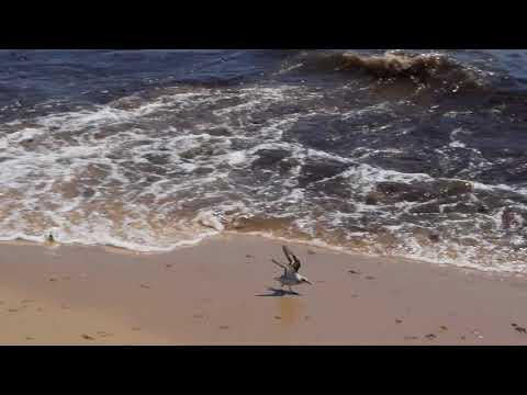 Shorebirds at South Cape Beach State Park - Cape Cod - 8/20/17