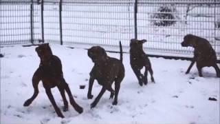 "Doberman And Weimaraner ""snow Play"""