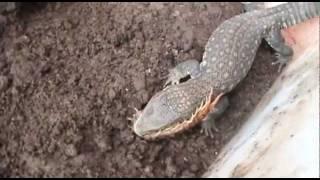 Varano de la sabana (Mancha Voraz) come lagartija, 2 ciempiés y una araña grande.