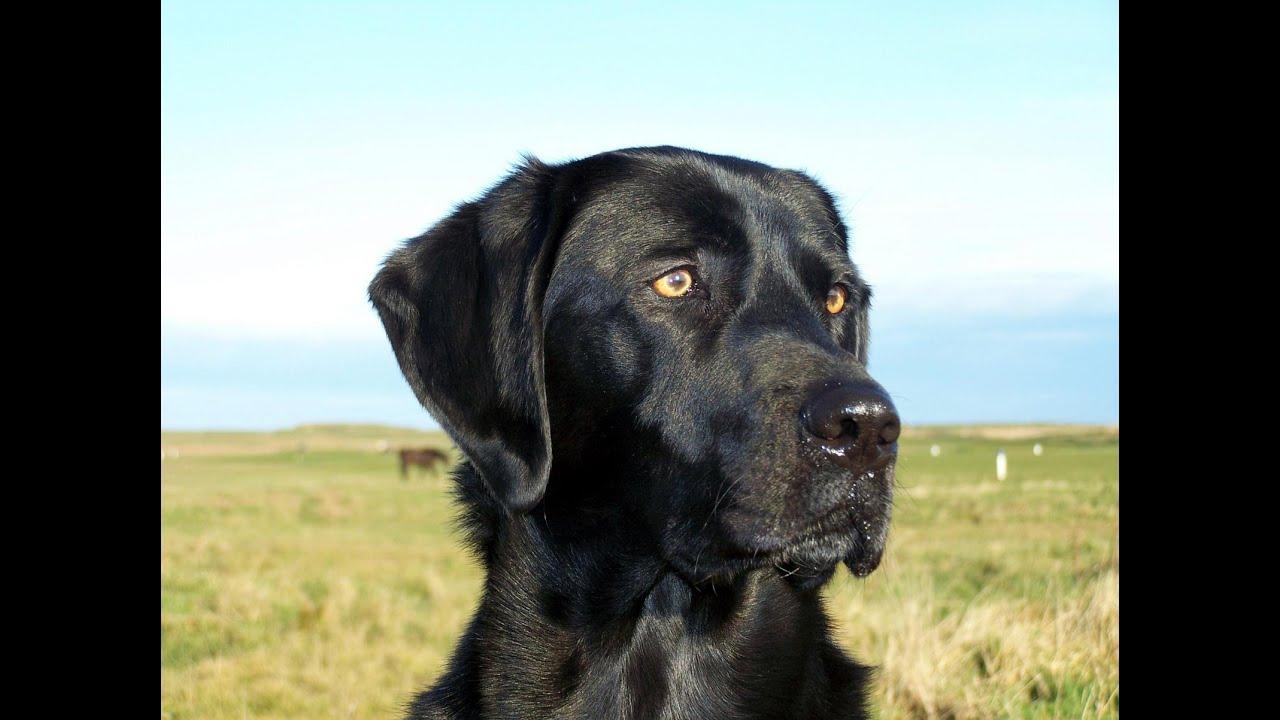Labrador Retriever: Owner Directed Aggression
