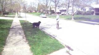 Street Training A 19-month Old Lab/poodle Mix