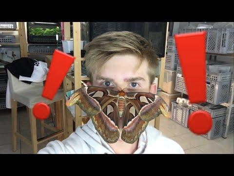 Giant atlas Moth on my Face