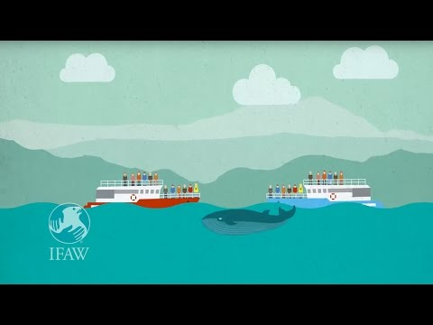 Iceland's Whales Need a Safe Sanctuary (With English Narration)
