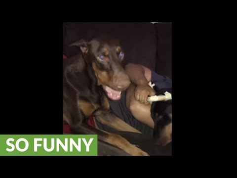 Super needy doberman demands owner's full attention