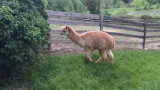 escaped alpaca part 2