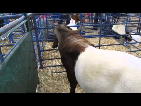 Boer goats (South African origin)