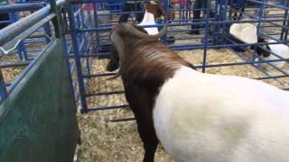 Boer goats (South African origin)