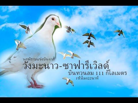 #นายเอเลี้ยงนก นกพิราบแข่ง บินจากวังมะนาวถึงซาฟารีเวิลด์ 111 กิโลเมตร