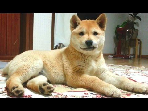 [76] 썩소하는 진돗개 강아지 장금이와 시체놀이하기 / A happy puppy with a strange smile