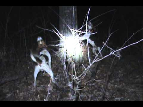 Dixie Ace Mossie treed coon hunting with ring tail