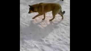 Опасная сабака кусает за ноги жесть