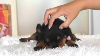関西ブリーダーのロットワイラー子犬→ http://www.at-breeder.net/rottw...