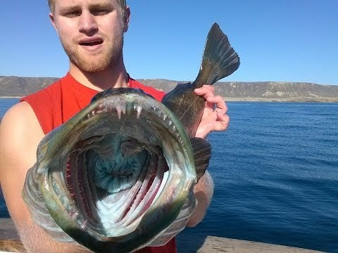 San Miguel Island Shallow Water Rockfish On The Pacific Islander with PFO