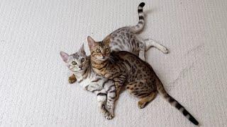 Bengal Cat Misses His Owner | 4K