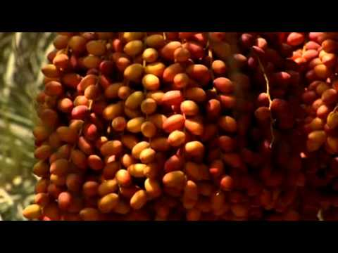 Feast of Dates : The Date Palm in the United Arab Emirates