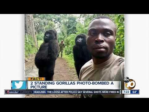 Evelyn Erives - Gorillas Standing Upright for Selfie Alongside Park Ranger ... WHAT?!