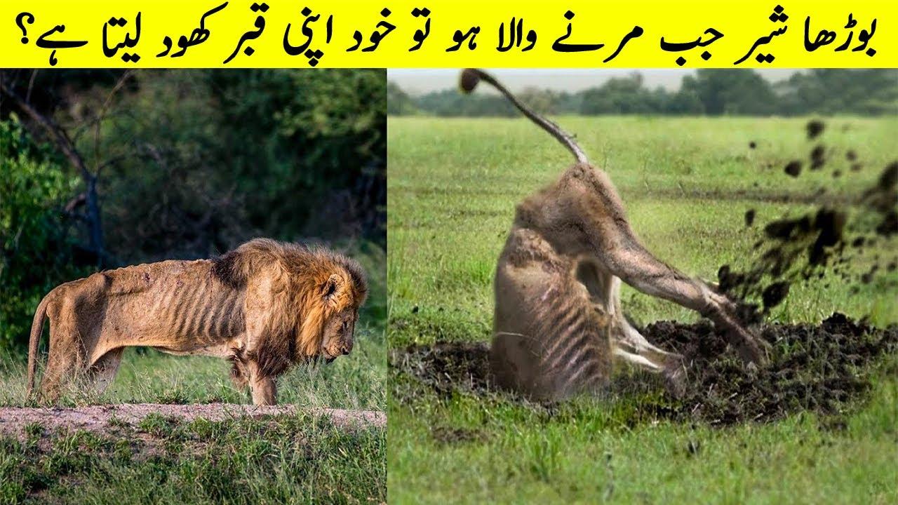 مرنے کے قریب بوڑھا شیر اپنی قبر خود بناتا ہے؟ What Old Lions Do After Getting Out Of Pride