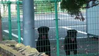 (hd)二頭の番犬-two Guard Dogs Rottweiler