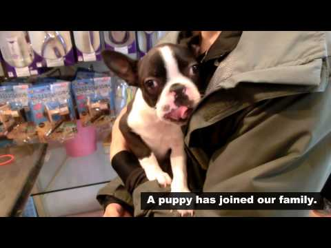 A puppy has joined our family.[Boston Terrier]