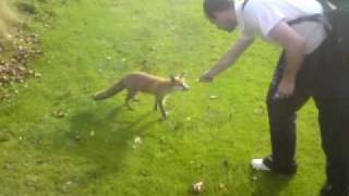 Reidy feeding a fox on the golf course