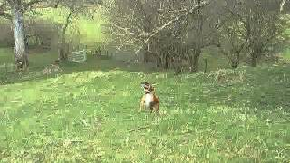 Staffordshire Bull Terrier Jumps And Falls