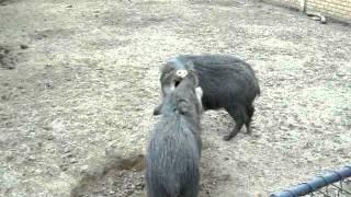 porco do mato zoologico.MOV