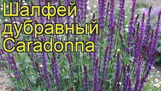 видео Шалфей дубравный