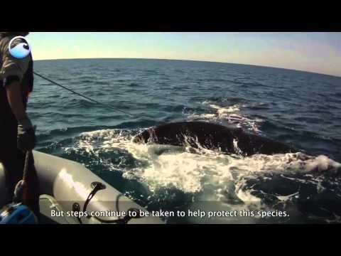 Endangered Ocean: North Atlantic Right Whales