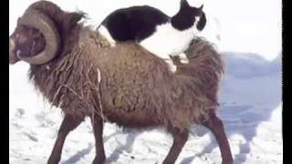 Cat and his sheep taxi!!!
