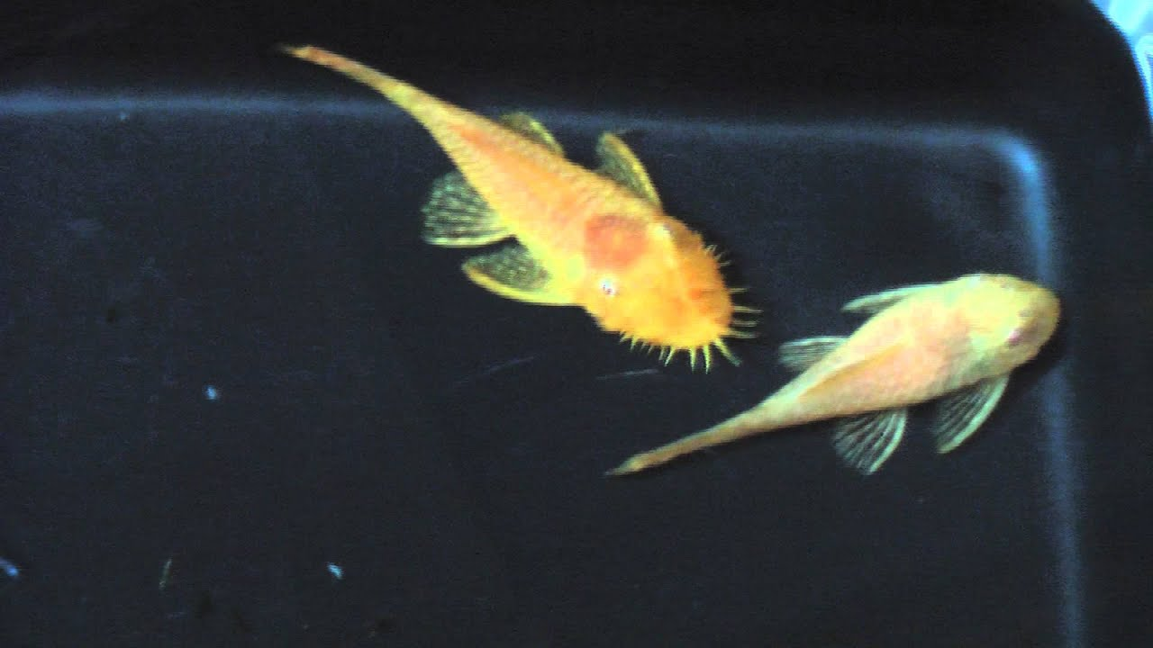 Catfish For Sale >> Breeding Pair of Albino Pleco Plecos Live Fish - YouTube